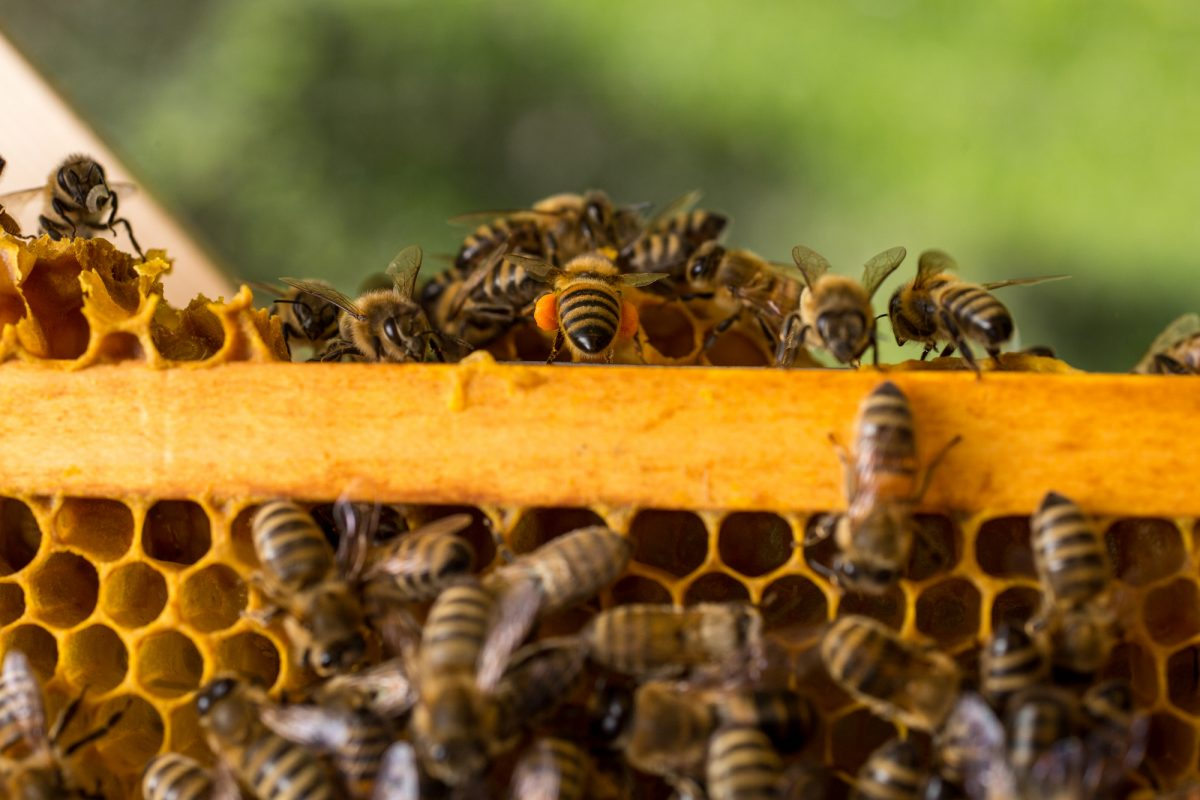 ape bottinatrice