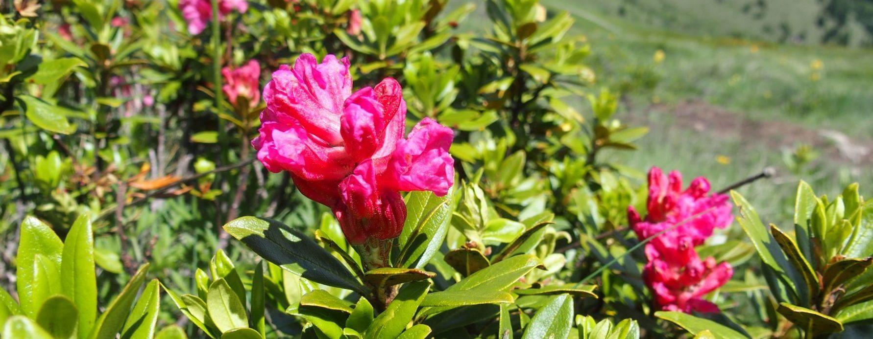 rododendro, massima fioritura a luglio sulle pendici del latemar in val di fiemme, trentino